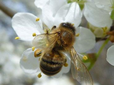 Höhenrainer- Grosshöhenrain-Heimat-Biene